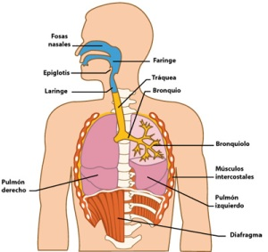 El-sistema-respiratorio